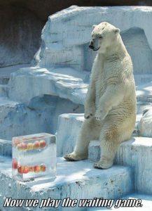 waiting polar bear